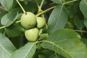 Green walnuts Nocino