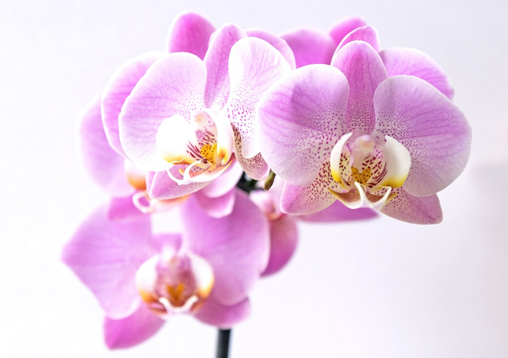phalaenopsis orchids plant care guide, phalaenopsis care for beginners